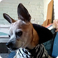 Adopt A Pet :: Sugar - Albuquerque, NM