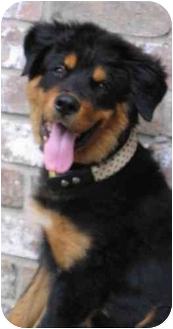 Rottweiler/Bernese Mountain Dog Mix Puppy for adoption in Cedar Creek, Texas - Ben
