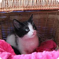 Domestic Shorthair Kitten for adoption in Studio City, California - Pol Roger –Sweetly shy kitten