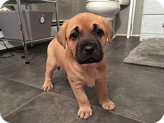Labrador Retriever/Hound (Unknown Type) Mix Puppy for adoption in Franklinville, New Jersey - Skye Blue