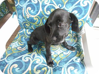 Cocker Spaniel/Pointer Mix Puppy for adoption in Kannapolis, North Carolina - Hayden - Female Puppy/Adopted!