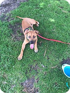 Rhodesian Ridgeback/Boxer Mix Puppy for adoption in Poway, California - Triton