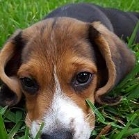 Adopt A Pet :: John Adams in Whiteville NC - Spartanburg, SC