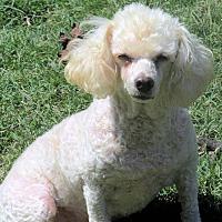 Adopt A Pet :: Curly - Williston Park, NY