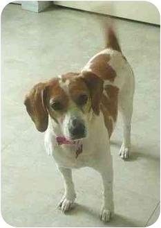 Beagle Dog for adoption in Palm Bay, Florida - Sami