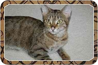 Domestic Shorthair Cat for adoption in Sterling Heights, Michigan - Anna - ADOPTED!