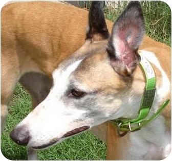 Greyhound Dog for adoption in Spotsylvania, Virginia - Chaska Snow Fall