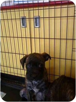 Boston Terrier/Poodle (Miniature) Mix Puppy for adoption in East Brunswick, New Jersey - ADOPTION PENDING
