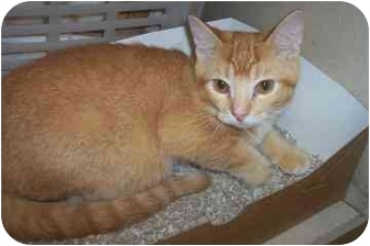 Domestic Shorthair Kitten for adoption in North Charleston, South Carolina - Ozzy