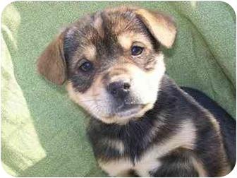 Husky Mix Puppy for adoption in Harrisonburg, Virginia - BeatleJuice