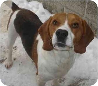 Beagle Mix Dog for adoption in Lake Odessa, Michigan - Nicholas