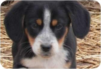 Collie/Labrador Retriever Mix Puppy for adoption in Salem, New Hampshire - Beans