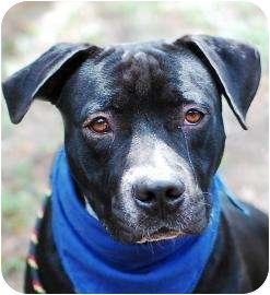 American Staffordshire Terrier Mix Dog for adoption in Jacksonville, Florida - Al