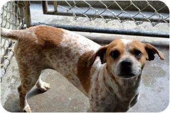 Beagle Mix Dog for adoption in Henderson, North Carolina - Sasha