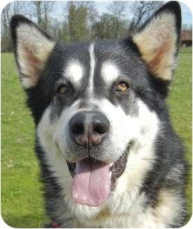 Alaskan Malamute Dog for adoption in Salem, Oregon - Rainy
