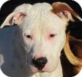 American Bulldog Dog for adoption in Apple Valley, California - WONDER BOY