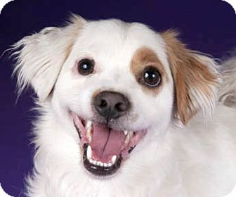 Cavalier King Charles Spaniel/Jack Russell Terrier Mix Dog for adoption in Chicago, Illinois - Peluchin