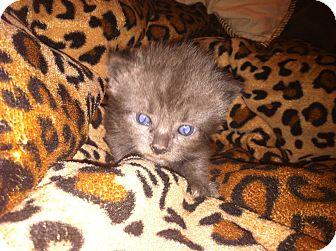 Domestic Mediumhair Kitten for adoption in Hawthorne, California - Smokey/Shadow