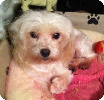 Maltese Dog for adoption in Westport, Connecticut - *Marcy - PENDING