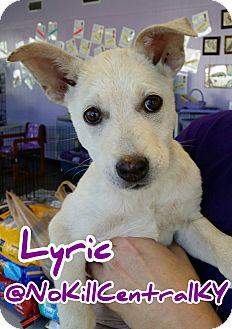 Basenji/Shepherd (Unknown Type) Mix Dog for adoption in Lancaster, Kentucky - Lyric