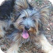 Yorkie, Yorkshire Terrier Mix Puppy for adoption in Austin, Texas - Quiz