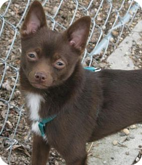 Miniature Pinscher/Chihuahua Mix Dog for adoption in Newell, Iowa - Joseph