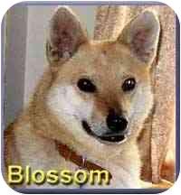 Labrador Retriever/Shiba Inu Mix Dog for adoption in Aldie, Virginia - Blossom