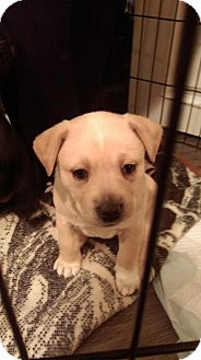 Shepherd (Unknown Type)/Labrador Retriever Mix Puppy for adoption in Broadway, New Jersey - Butterscotch