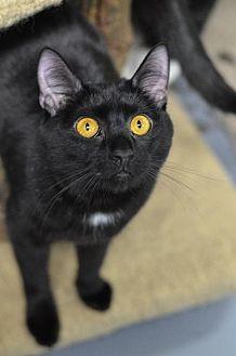 Domestic Shorthair Cat for adoption in Atlanta, Georgia - Paget 13957