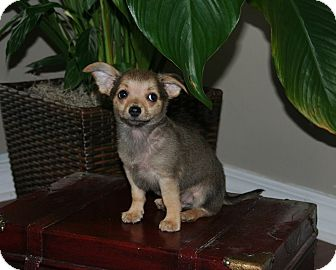 Chihuahua/Terrier (Unknown Type, Small) Mix Puppy for adoption in Middletown, Rhode Island - Jeff