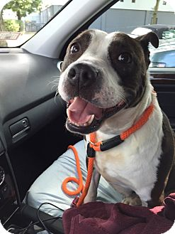 Staffordshire Bull Terrier Mix Dog for adoption in Villa Park, Illinois - Dolly