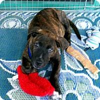 Adopt A Pet :: Bodhi - Los Angeles, CA