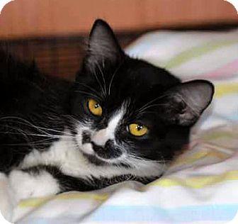 Domestic Longhair Cat for adoption in Mayflower, Arkansas - Linda