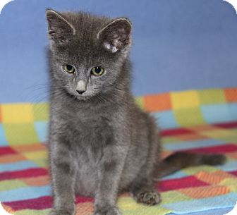 Domestic Shorthair Kitten for adoption in Marietta, Ohio - Archie