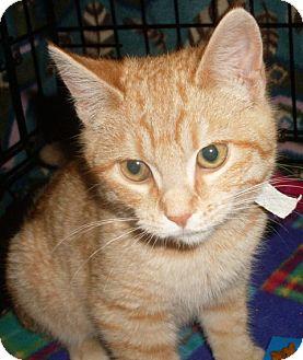 Domestic Shorthair Cat for adoption in Buhl, Idaho - Portia