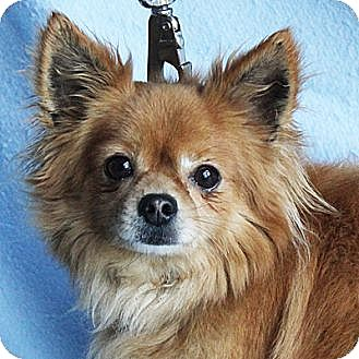 Pomeranian Mix Dog for adoption in Huntley, Illinois - Andrew