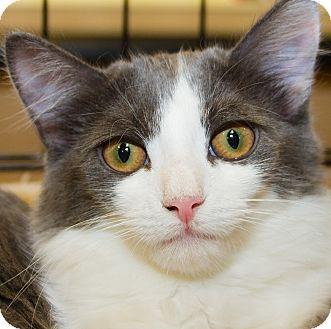 Domestic Shorthair Kitten for adoption in Irvine, California - Sasha