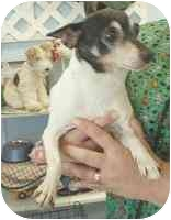 Rat Terrier Dog for adoption in Salem, New Hampshire - Rocky