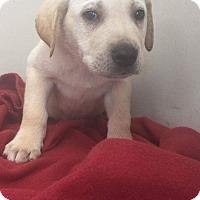 Adopt A Pet :: Yellow labs 2 pups - Pompton Lakes, NJ
