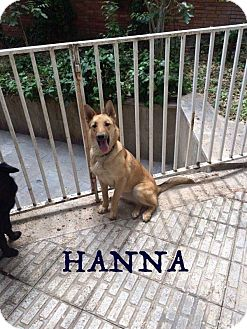 German Shepherd Dog/Mixed Breed (Large) Mix Puppy for adoption in Guelph, Ontario - Hanna
