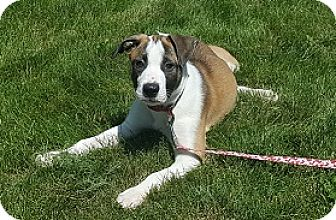 Boxer/Plott Hound Mix Puppy for adoption in St. Charles, Illinois - Boxer Bixby