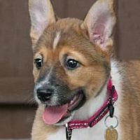 Adopt A Pet :: Dizzy - Richardson, TX