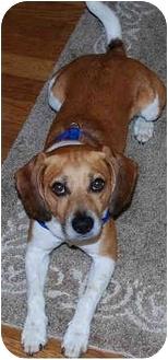 Beagle Mix Dog for adoption in Brighton, Michigan - Shiloh
