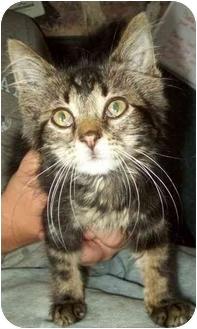 Manx Kitten for adoption in North Judson, Indiana - Mac