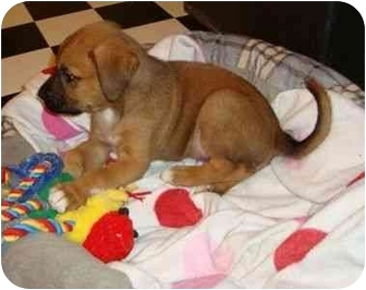 Boxer/Shepherd (Unknown Type) Mix Puppy for adoption in Windham, New Hampshire - Coleslaw