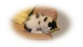 Domestic Shorthair Kitten for adoption in Morehead City, North Carolina - Tom