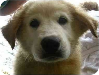 Great Pyrenees Mix Puppy for adoption in Spruce Pine, North Carolina - Toronto