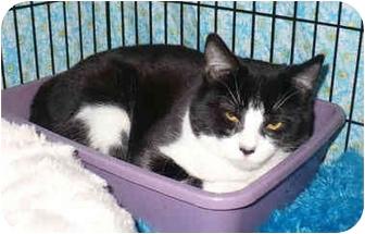 Domestic Shorthair Cat for adoption in Colmar, Pennsylvania - Christiana