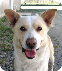 Labrador Retriever/Australian Shepherd Mix Dog for adoption in Bonners Ferry, Idaho - Shadow