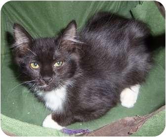 Domestic Mediumhair Kitten for adoption in Orlando, Florida - Whiska